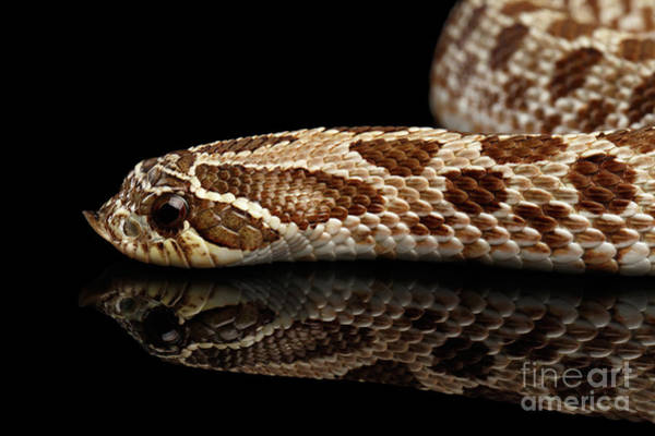 Photograph - Closeup Western Hognose Snake, Isolated On Black Background by Sergey Taran