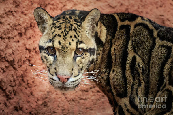 Photograph - Clouded Leopard #1 by Richard Smith