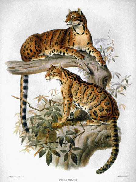 Wall Art - Photograph - Clouded Leopard, 1883 by Granger