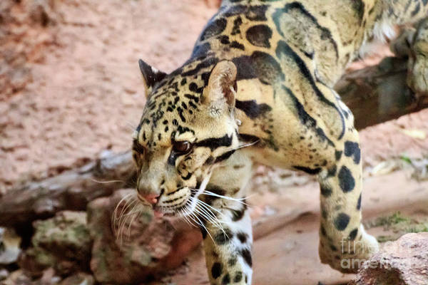 Photograph - Clouded Leopard #2 by Richard Smith