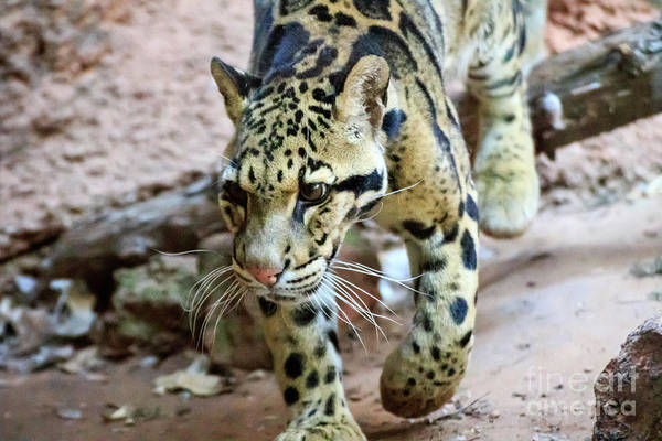 Photograph - Clouded Leopard #3 by Richard Smith