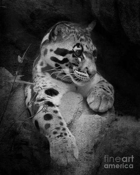 Houston Zoo Photograph - Clouded Leopard Black And White by TN Fairey