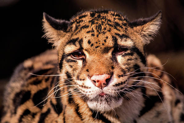 Photograph - Clouded Leopard by Don Johnson