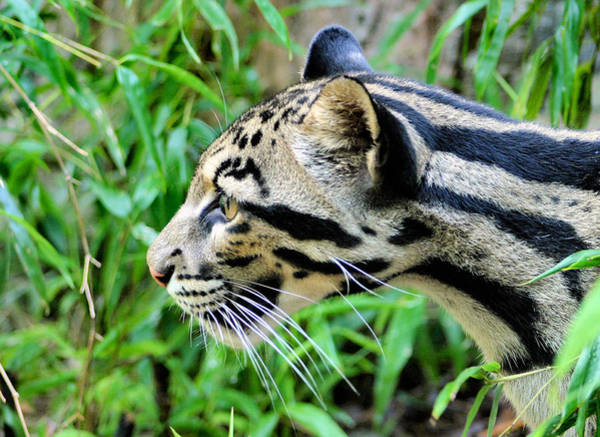 Lurking Photograph - Clouded Leopard In The Grass by Kristin Elmquist
