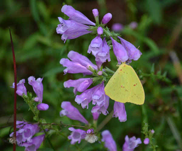 Sulfur Butterfly Wall Art - Photograph - Cloudless Sulfur - Obedient Plant by rd Erickson
