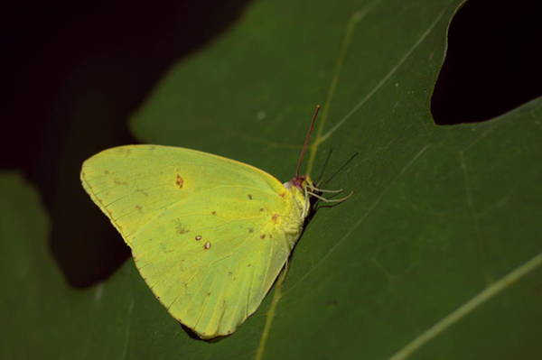 Sulfur Butterfly Wall Art - Photograph - Cloudless Sulphur Butterfly by Aaron Rushin