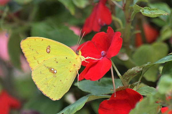 Photograph - Cloudless Sulphur Butterfly by Sheila Brown