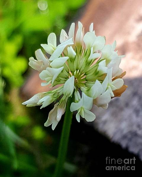 Photograph - Clover #2 by Michael Graham