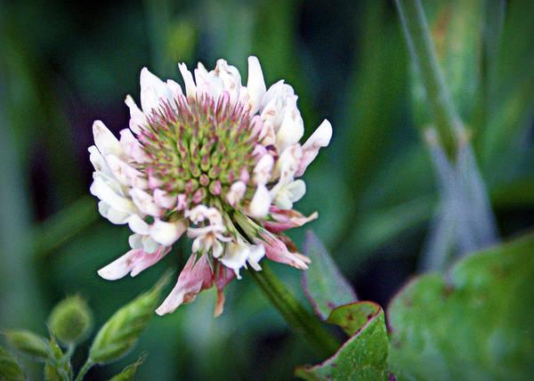 Photograph - Clover Blossom by Cricket Hackmann