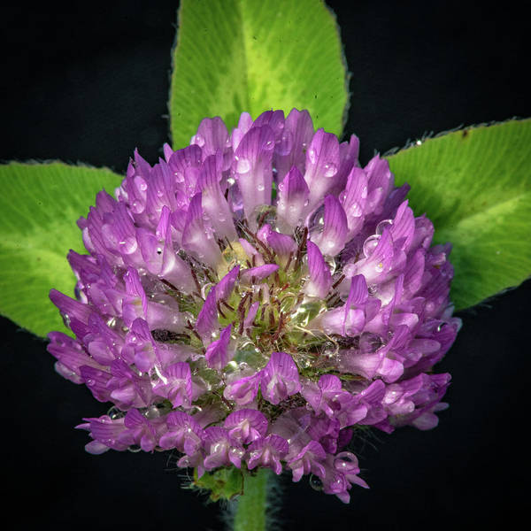 Photograph - Clover by David Heilman