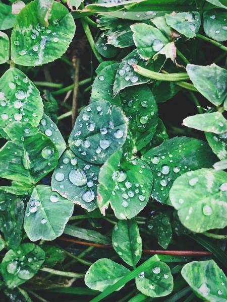 Photograph - Clover Drops by Brad Hodges