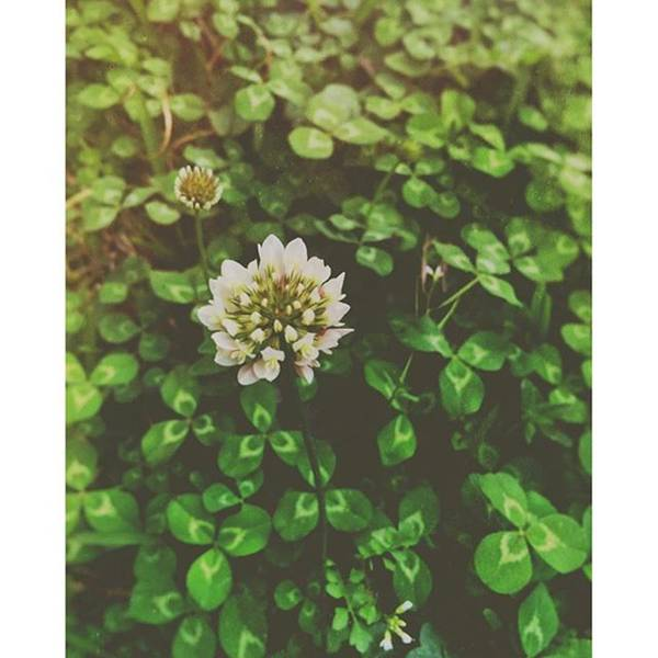 Green Photograph - Clover #spring #green by Joan McCool