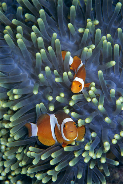 Mp Photograph - Clown Anemonefish Amphiprion Ocellaris by Hiroya Minakuchi