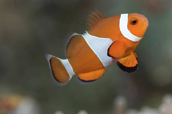 Wall Art - Photograph - Clown Anemonefish (amphiprion Ocellaris) by Steven Trainoff Ph.D.