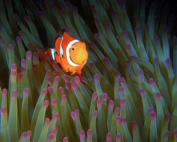 Photograph - Clownfish In Anemone, Great Barrier Reef 4 by Pauline Walsh Jacobson