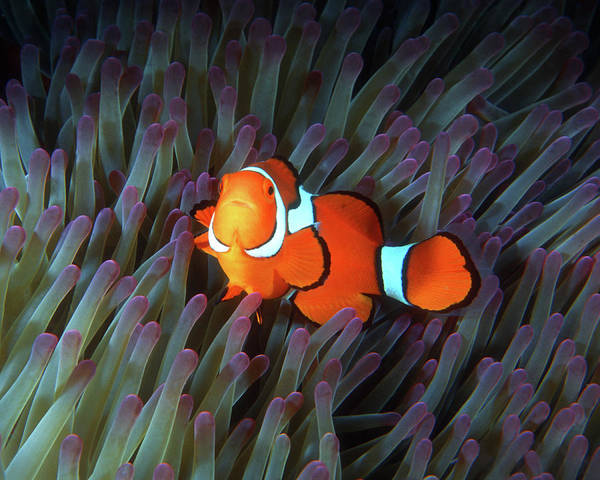 Photograph - Clownfish In Anemone, Great Barrier Reef 5 by Pauline Walsh Jacobson