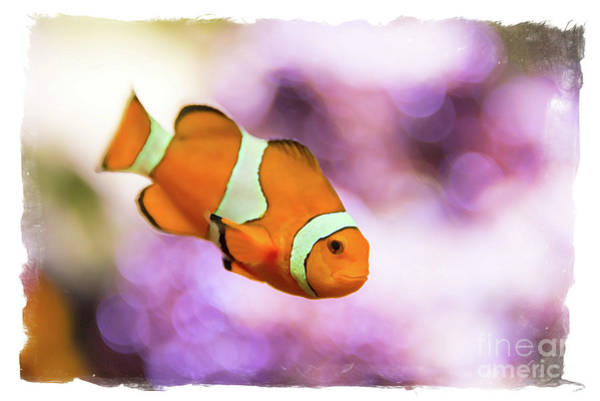 Clownfish Painting - Clown Fish Watercolor by Delphimages Photo Creations