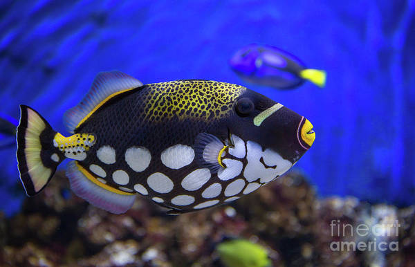 Photograph - Clown Trigger Fish by Kevin McCarthy