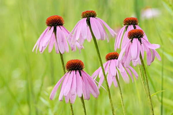 Photograph - Cluster Of Cone Flowers by Larry Ricker