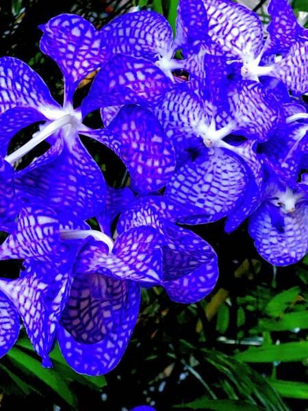 Cluster Of Electric Blue Vanda Orchids Art Print