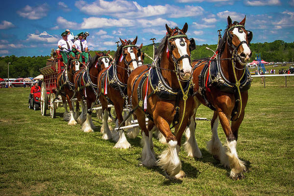 Photograph - Budweiser Clydesdale Horses by Robert L Jackson