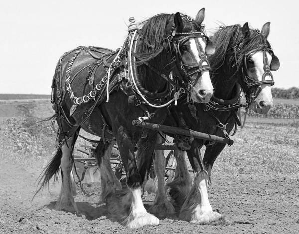 Wall Art - Photograph - Clydesdale Plow Team by Daniel Hagerman