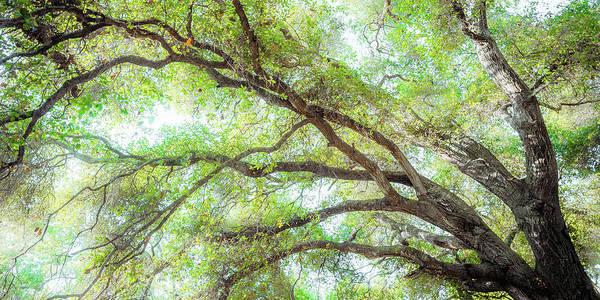 Coast Live Oak Photograph - Coast Live Oak Branches by Alexander Kunz