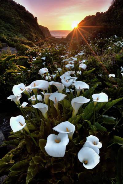 Calla Photograph - Coastal Calla Lilies by Ryan Smith