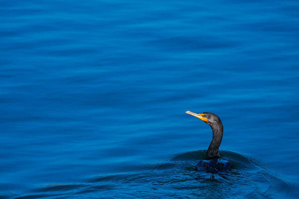 Double Crested Cormorant Photograph - Coastal Cormorant by Karol Livote
