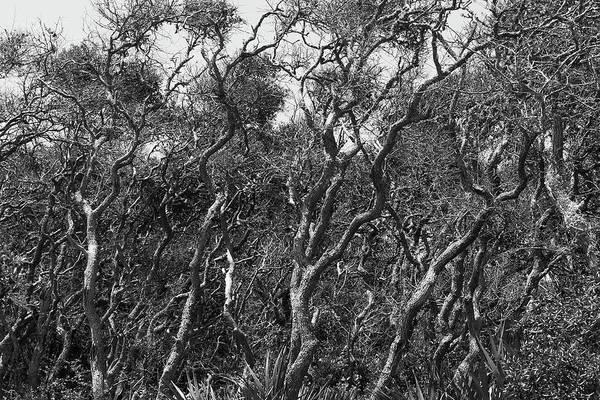 Photograph - Coastal Oaks by Paul Rebmann