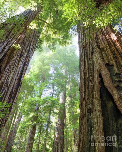 Photograph - Coastal Redwoods  by Vincent Bonafede