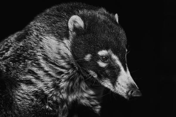 Photograph - Coati  by Brian Cross