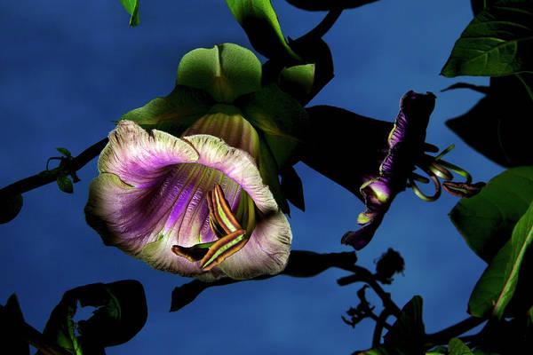 Moberly Photograph - Cobaea Scandens  by Guy Moberly