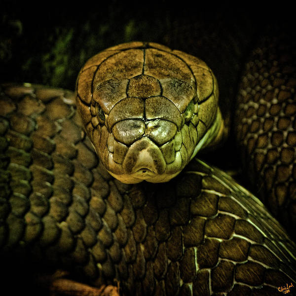 Photograph - Cobra by Chris Lord