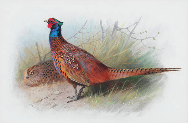 Wall Art - Painting - Cock And Hen Pheasant by Archibald Thorburn
