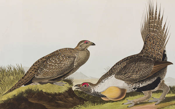 Wall Art - Painting - Cock Of The Plains by John James Audubon