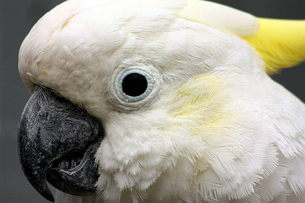 Photograph - Cockatoo Close Up by Sheila Brown