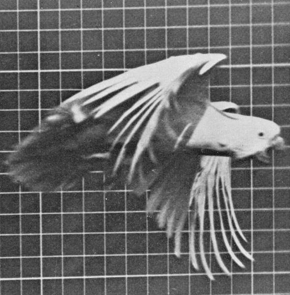 In Flight Photograph - Cockatoo In Flight by Eadweard Muybridge