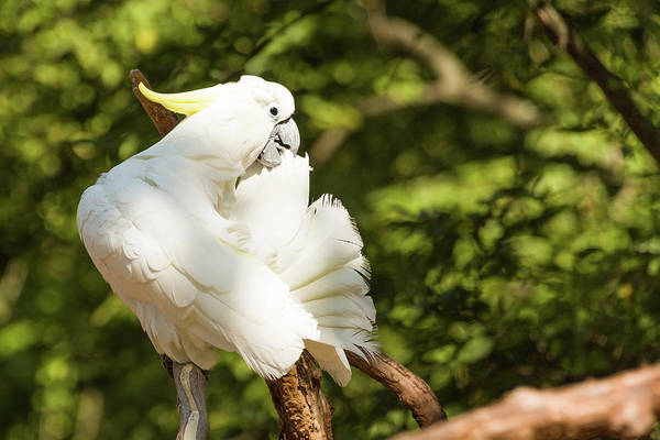 Photograph - Cockatoo Preaning by John Benedict