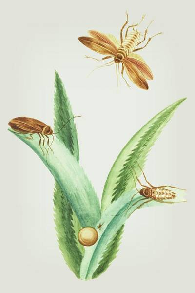 Mixed Media - Cockroaches With An Egg On Ananas Leaves By Cornelis Markee 1763 by Cornelis Markee