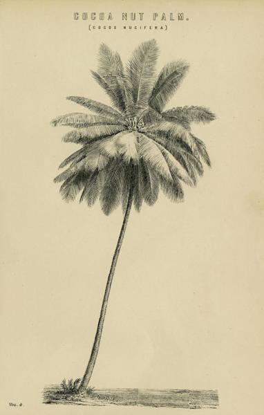 Coco Drawing - Cocoa Nut Palm Cocos Nucifera by eGuam Image