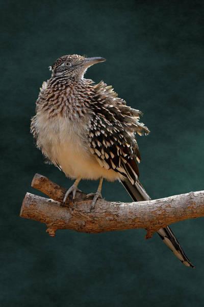Photograph - Cocoa Puffed Cuckoo by Debi Dalio