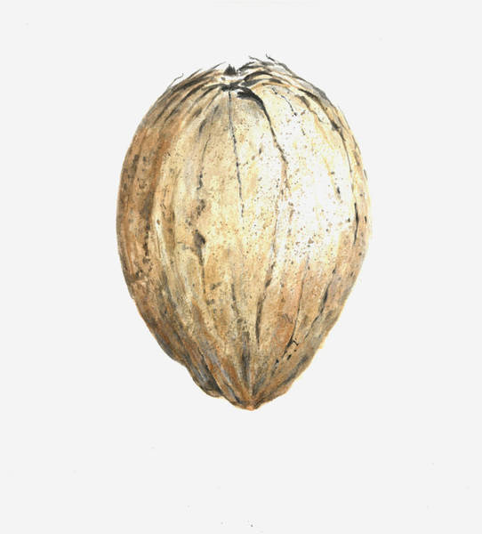 Husk Painting - Coconut by Lincoln Seligman
