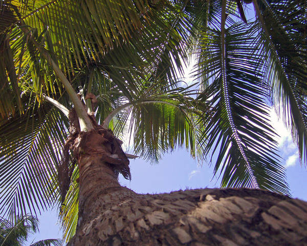 Photograph - Coconut Palm by Adam Johnson