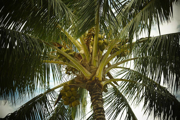 Wall Art - Photograph - Coconut Palm by Frank Wilson