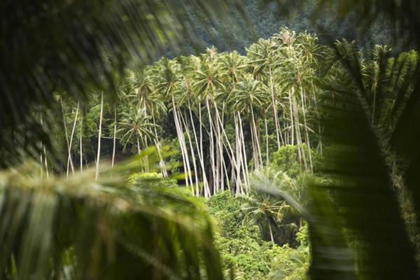 Fatu Hiva Wall Art - Photograph - Coconut Palm Trees by Tim Laman