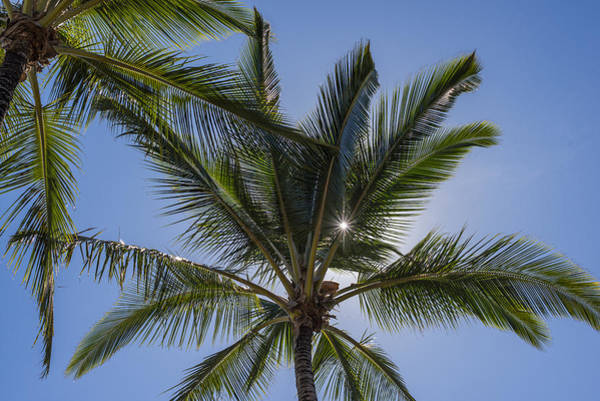 Photograph - Coconut Palms And Sun by Robert Potts