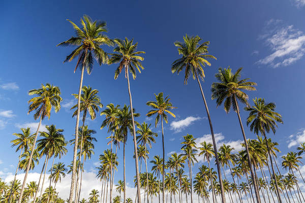 Photograph - Coconut Plantation Kauai by Pierre Leclerc Photography