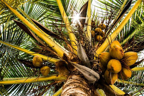 Dione Photograph - Coconut Star by Dione Scotland Rivero