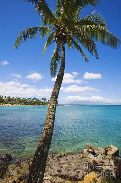 Napili Bay Photograph - Coconut Tree by Ron Dahlquist - Printscapes